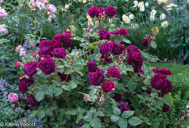 17 best images about david austin roses on pinterest. Black Bedroom Furniture Sets. Home Design Ideas