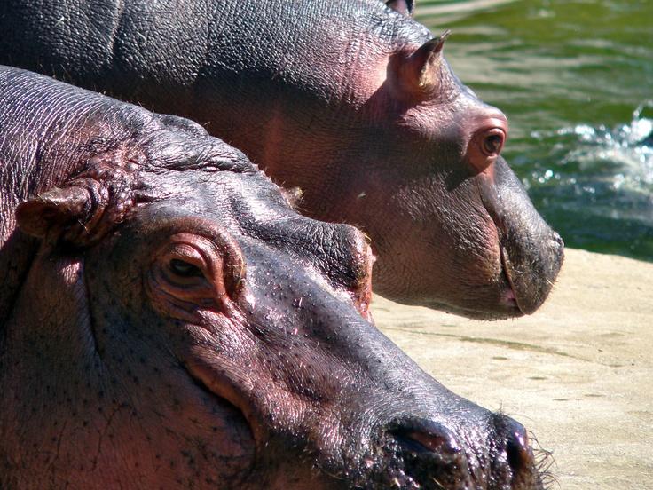 Nijlpaarden fotografie: L. Blok