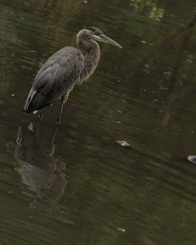 What a beautiful crain #crain #bird #birdsofinstagram #wildlife #nature…