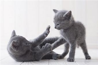 Russian Blue Cat 5
