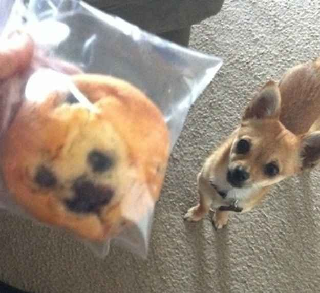 blueberry muffin or chihuahua this blueberry muffin looks exactly like this chihuahua 4882
