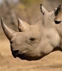 Les rhinocéros pourraient-ils être sauvés par la légalisation du commerce de corne ? Les mathématiques vont tenter d'y répondre