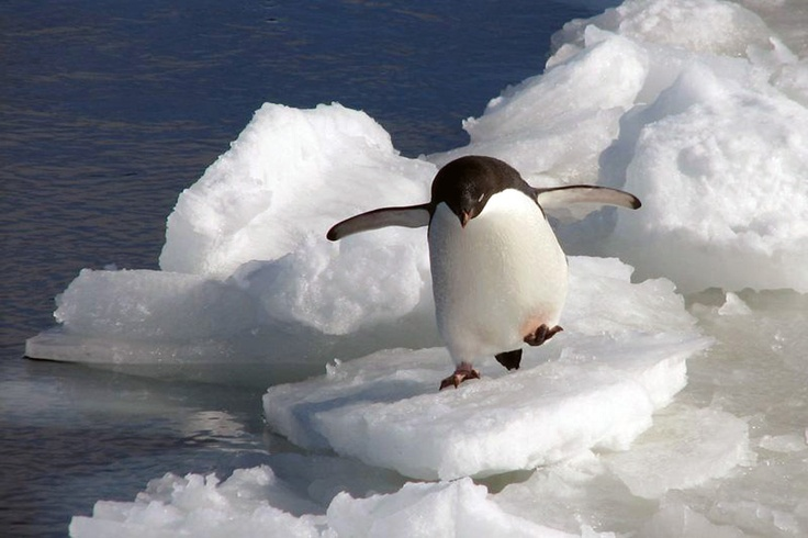 Snowboarding penguin style!! Too cute... Forget swimming with dolphins i want to surf with a penguin! Lol