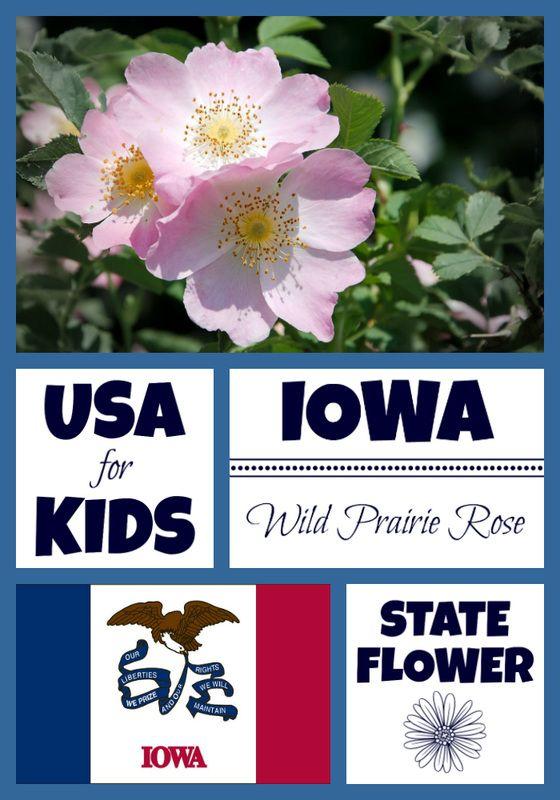 Iowa State Flower Facts For Kids Iowa Iowa State