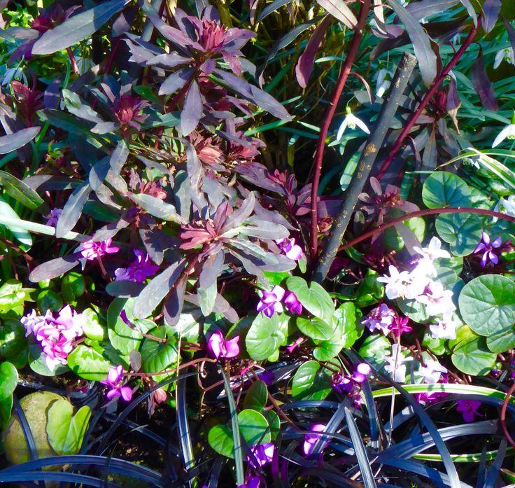 Cyclamen coum,euphorbia and black grass