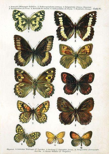 European-butterfly...F. Nemos