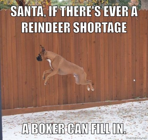 Reindeer or #boxer? #dogs @Melissa Squires Squires Squires Deppe