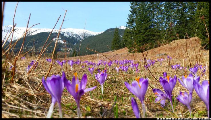 krokusy w Dolinie Chochołowskiej  #flowers #crocuses #tatry