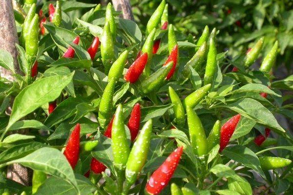 Bài thuốc cứu sống người bị tai biến từ lá cây ớt chỉ thiên 1