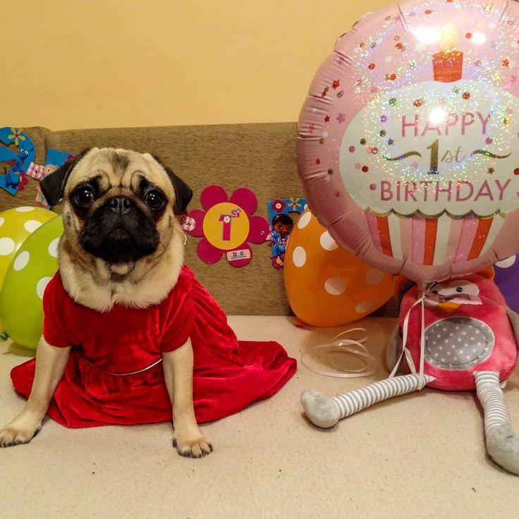 Happy Birthday Bubble!!!  It was awesome party    #mauricethepug #bubble #queenb #happybirthday #happybirthdaybubble #party #firstbirthday #cake #reddress #partyanimals #romania #tirgumures #pugstory #puglife #pugchat #pug #mops #dog #puppy