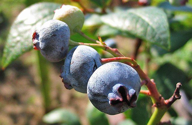 highbush blueberry / Vaccinium corymbosum