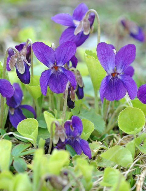 Marsfiol - Viola odorata