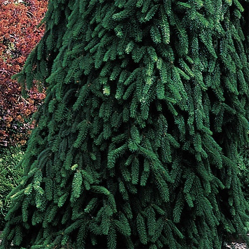 70 best images about weeping evergreen trees on pinterest for Specimen trees zone 5