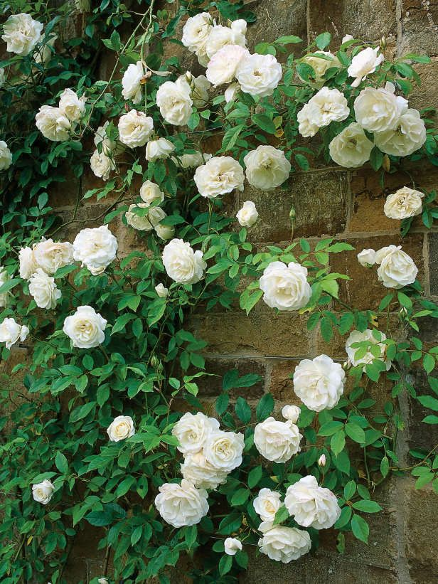 Vigorous Iceberg Climbing Rose Is Sweetly Scented   Rosa, Climbing Iceberg,  Is A Fast Growing Climber With Glossy Light Green Foliage And Large  Clusters Of ...