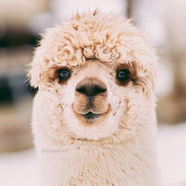 «Alpaca Beauty Shot (Uxbridge, Ontario)»