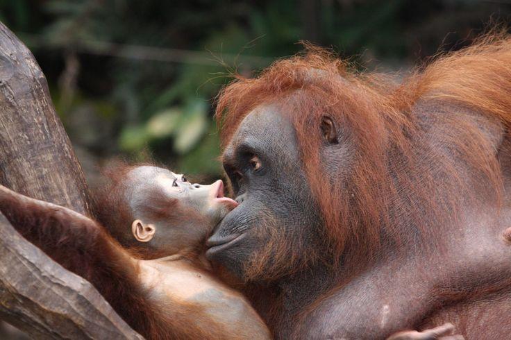 Kleine en grote orang-oetan