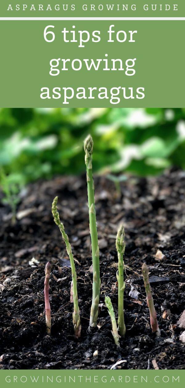 Asparagus Growing Guide In 2020 Growing Asparagus Asparagus Garden Asparagus