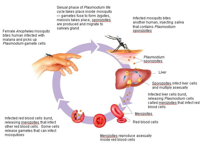 Malaria - including symptoms, treatment and prevention