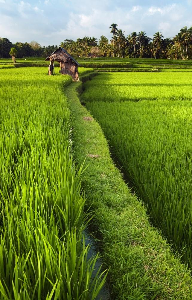 Balinese rice field #bali #asia