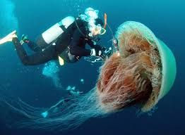 Image result for jellyfish species list with pictures