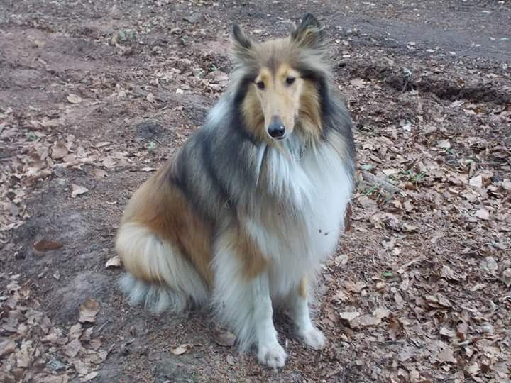 Pin By Ina On Collie Luv Rough Collie Sheltie Dogs Dogs