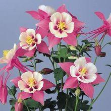 100 sementes/pack Zi Yan Aquilegia hardy perene flor sementes sombra vasos de flores plantadores de jardim de casa(China (Mainland))