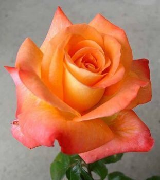 Krása růže