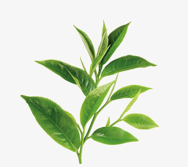 Green Tea Leaf Green Tea Png Transparent Image And Clipart For Free Download Tea Leaves Illustration Green Tea Plant Green Tea
