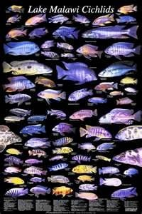 Lake Malawi Cichlids. Cichlids are recognized to be among the smartest fish. They are amazing to watch. They have great memories and learning capabilities.