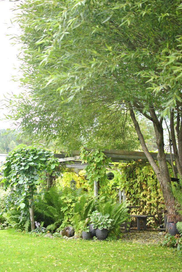 Pergola med hängalm, Salix bullata, och strutbräken.