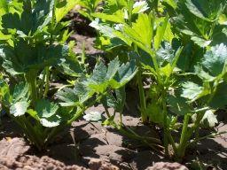 Выращивание сельдерея - Садоводка