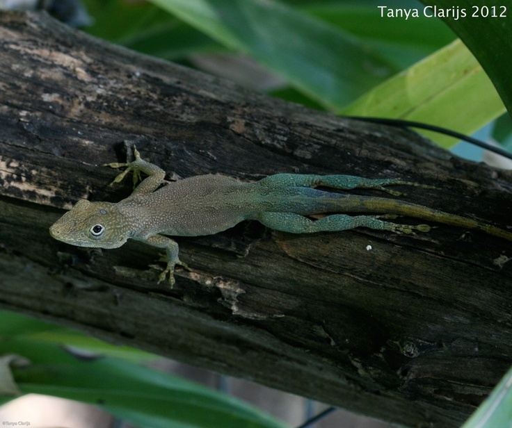 75 Best Images About Polychrotidae-Anoles On Pinterest
