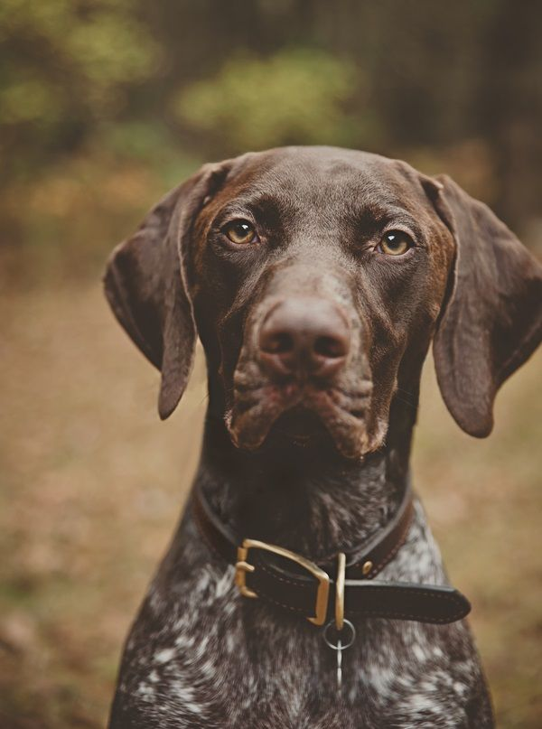 © Patrick Hadley Photography | Daily Dog Tag | Handsome-German-Shorthaired-Pointer #GSP #Braque allemand