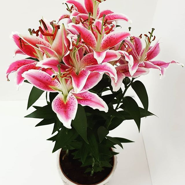 Beat Your Monday Blues With Lilies Shop From Acacia Garden Center Dubai Or Shop Online At Www Acaciagardencenter Com Or Call Us O Garden Center Plants Garden