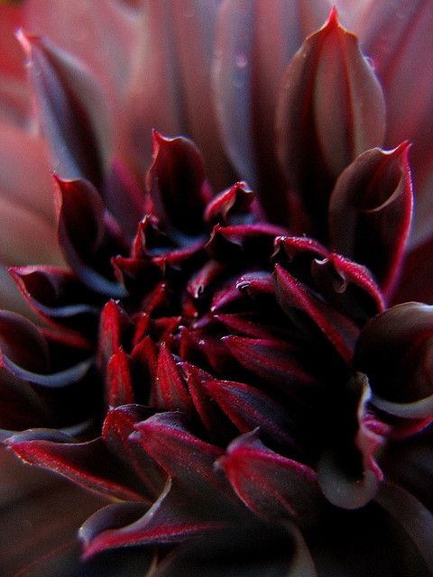 Black Spider mum, via Flickr. - by Laura Bell