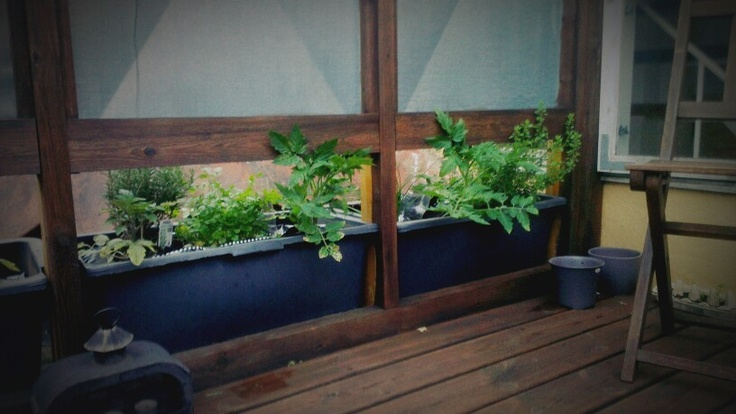 Herbes and tomatoes on the roof deck.