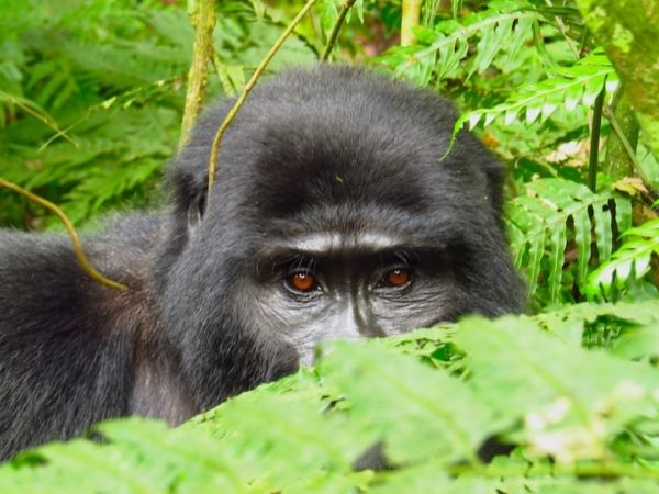 Help us judge our book by its cover Bwindi – By far the biggest reaction we have had from any of our social media posts is for the mountain gorillas of Uganda's Bwindi Impenetrable Forest. Make no mistake, it takes some sweat to get to see them. Then again, what's a bit of sweat between close relatives! I don't think I need say much more on the subject, other than that so far in our project, Wild Frontiers' Buhoma Lodge is the other of Pat's two best lodges.