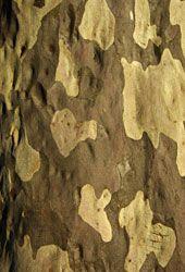ANPSA Plant Guide : Eucalyptus, Corymbia & Angophora. Corymbia maculata