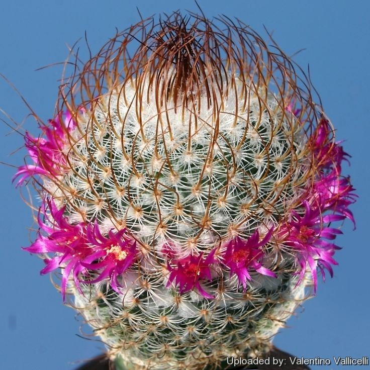 Mammillaria huitzilopochtli subs. niduliformis