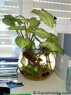 Grow aquatic plants in your betta's fish tank. / Cultivez des plantes aquatiques dans le bocal de votre betta.