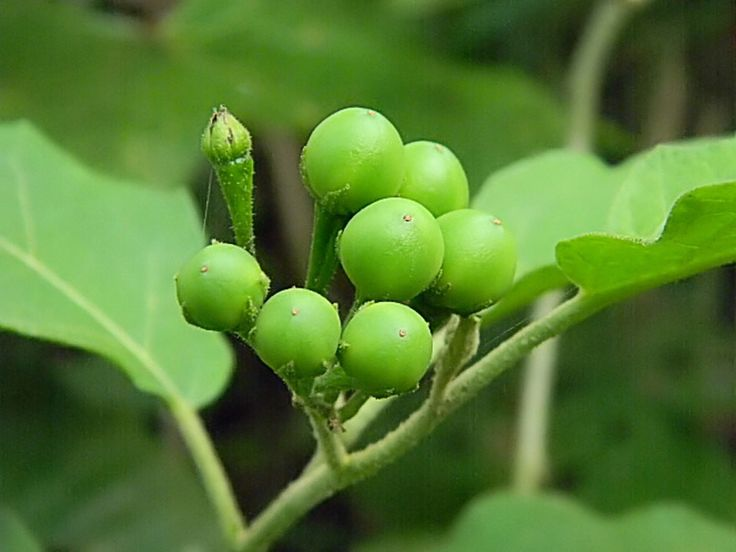 Turkey berry Pea Eggplant Seed Solanum torvum has clusters of small green fruits that are used in Thai cuisine. The extract of Solanum torvum fruit showed a wide spectrum of antimicrobial activities.