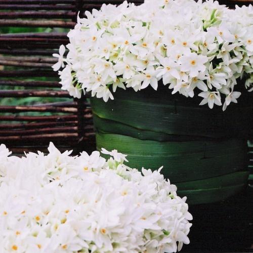 Narcisos (narciso polianto ou Narcissus tazetta)