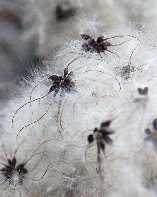 clematis seeds