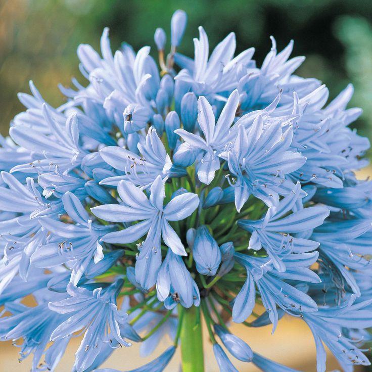 Agapanthus - Blue/white, $8.50, 10 stems/bunch (70cm)