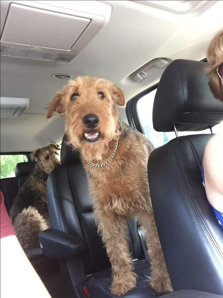 13 best Airedales images on Pinterest | Airedale terrier, Color ...