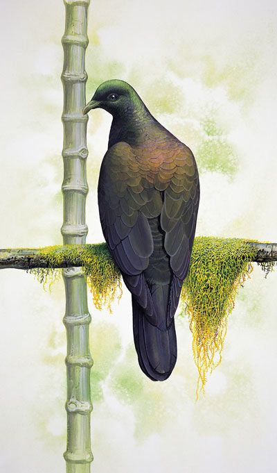 Bonin Wood-pigeon Columba versicolor. Original artwork from A Gap in Nature. Last Record: 15 September 1889. Distribution: Peel and Nakondo-shima, Ogasawara (Bonin) Islands, Japan.