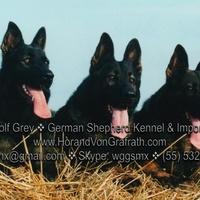 German Shepherd / PastorAlemán - Photos - Cachorros Pastor Alemán, German Shepherd Puppies, Pastor Alemán Sable y Negro, Black and Sable German Shepherd,