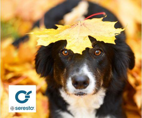 ¿#Sabíasque pulgas y garrapatas siguen activos los meses de septiembre - octubre? Protege a tu mascota con el collar #Seresto #perros #gatos #mascotas #saludfelina #saludcanina #amoamiperro #amoamigato #seresto #catlover #doglover #pets #cats #dogs