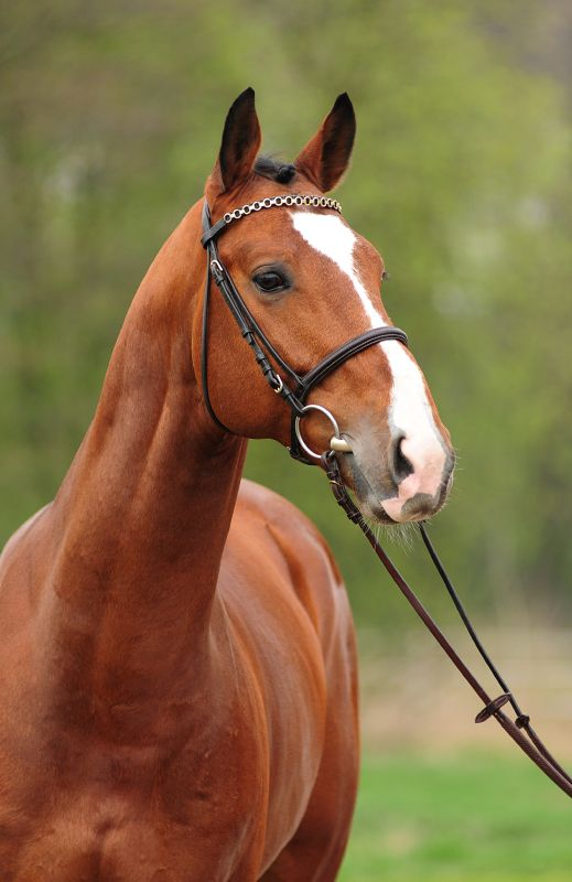 Durano W (Vincenzo x Placido) 2008 #KWPN #horses #portraits #equinephoto#interhorse