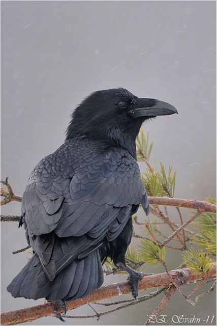 raven. There is just something about the ravens and crows that facinate me.